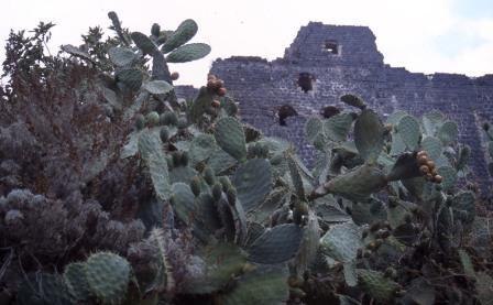 cactus-fruit1